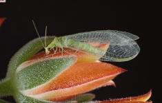 Beneficial Lacewing