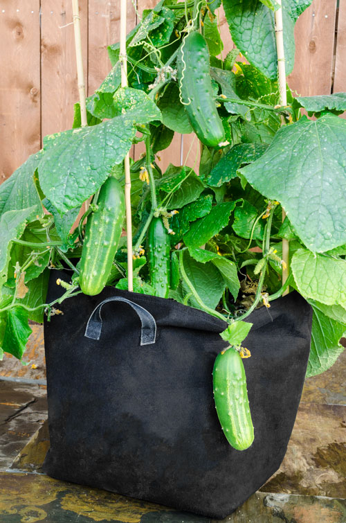Awesome Growbag Cucumber, Patio ...