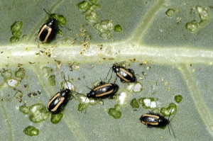 Flea beetles are small, black beetles, often with yellow striping.  Photo copyright James Lindsey at Ecology of Commanster via Wikimedia.