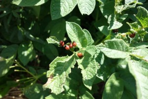 These Colorado Potato Beetles hatch - and multiply - quickly. It's best to get a fast start on ridding your garden of these pests.